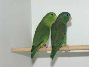 Augenring-Sperlingspapagei, Spectacled Parrotlet, Forpus conspicillatus
