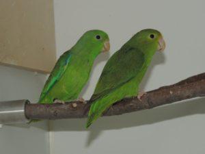 Grünbürzel-Sperlingspapageien