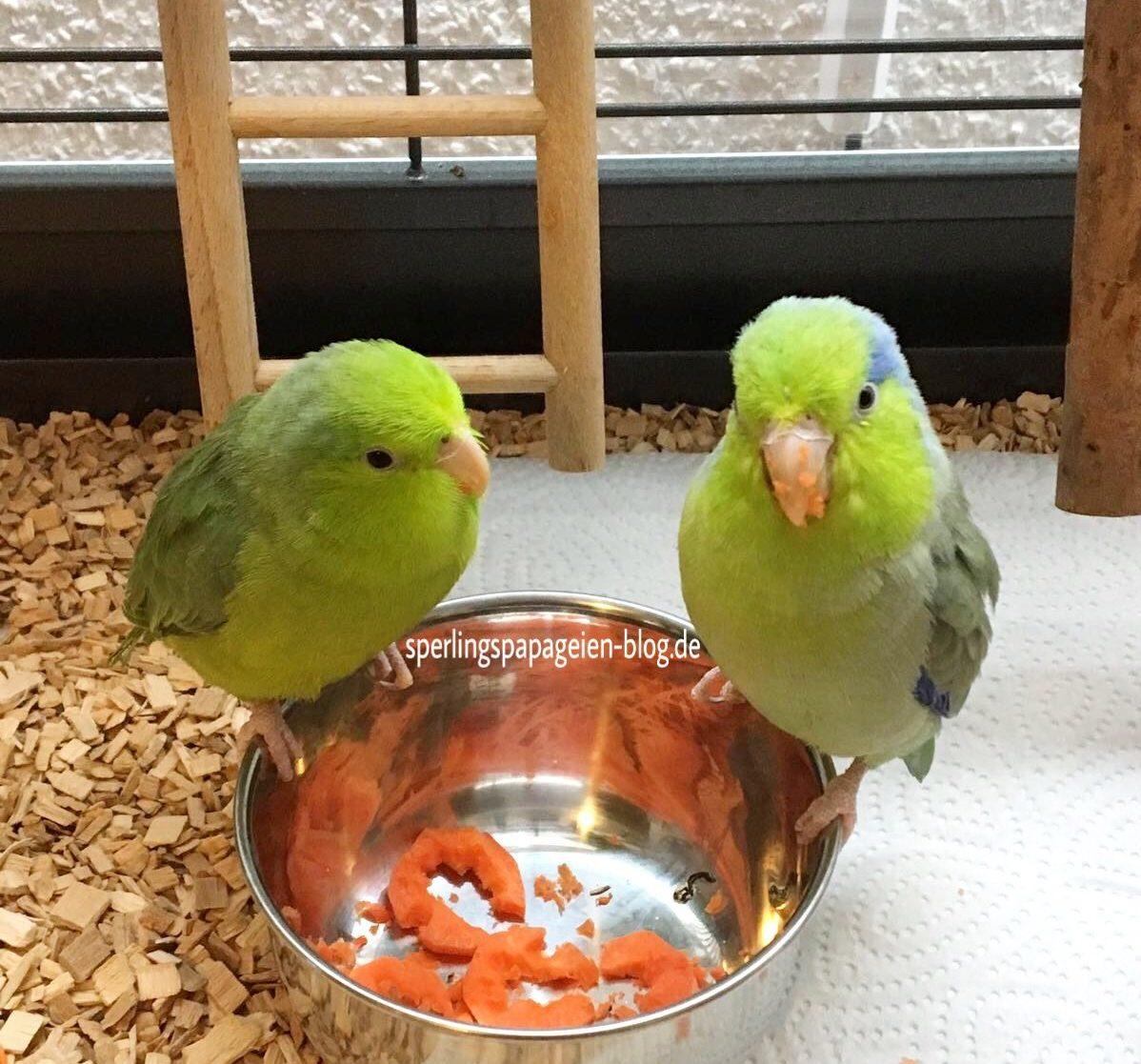 Sperlingspapageien, die Karotte fressen