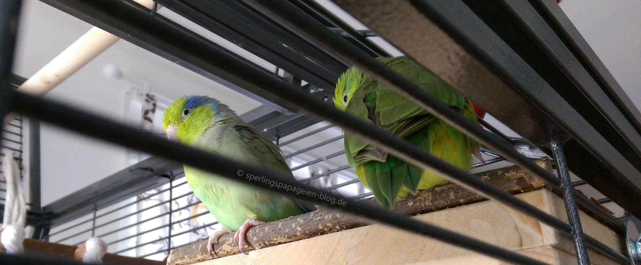 Zwei Sperlingspapageien, die in ihrem Käfig sitzen und entspannen