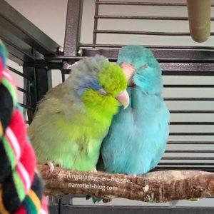 Erfolgreiche Verpartnerung von Papageien